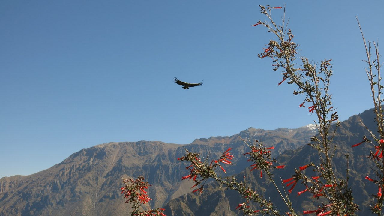 Andean condor flying over the Colca Canyon